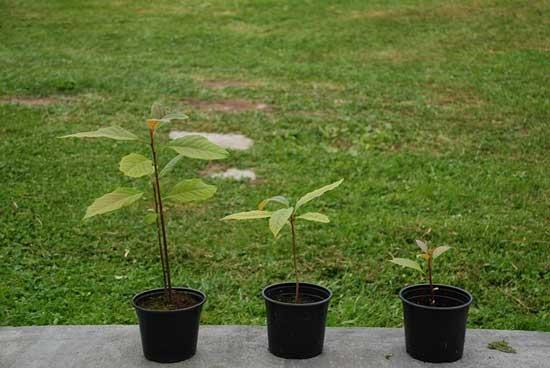Growing Avocados Trees within a Container