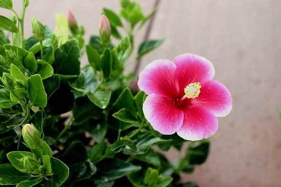 Hibiscus Pot