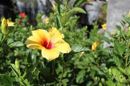 Hibiscus Sufficient sunlight