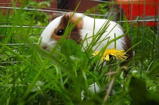 Domestic Rabbit Eats Marigold