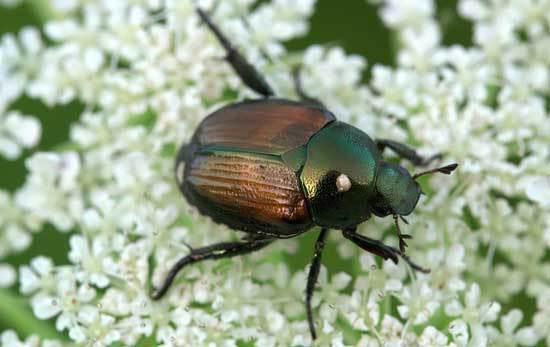 Japanese Beetle Eats Flower