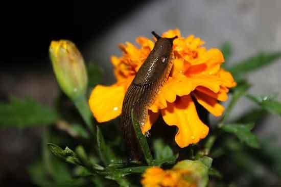 Slugs Eats Marigold