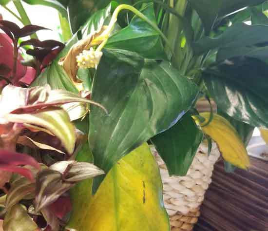 Why Is My Peace Lily Leaves Turning Yellow 2
