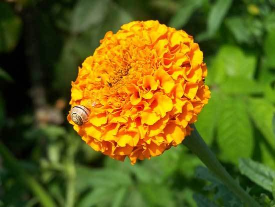 snail eats marigold