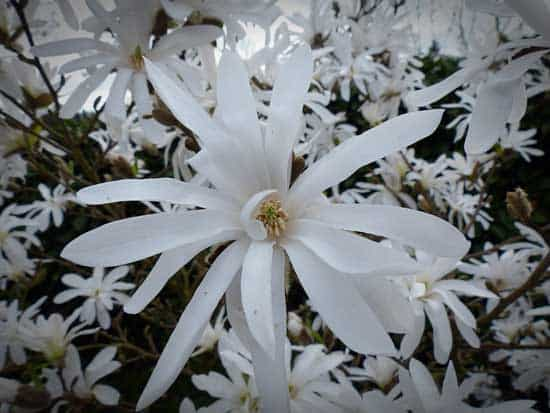 Flannel Flower Actinotus Helianthi