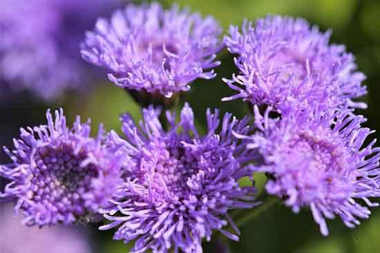 Floss Flower Ageratum Houstonianum