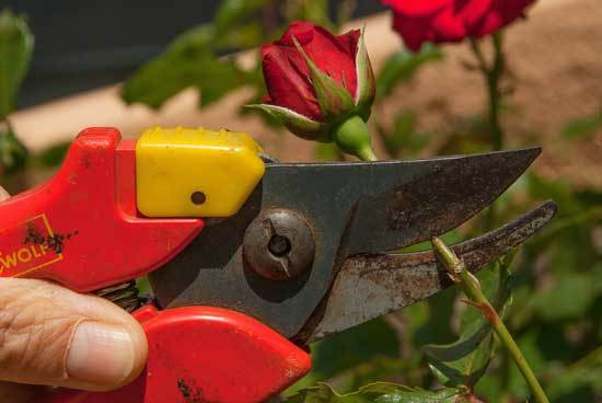 How to Cut Back Overgrown Rose Bushes 2