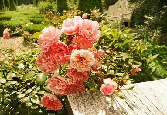 How to Cut Back Overgrown Rose Bushes
