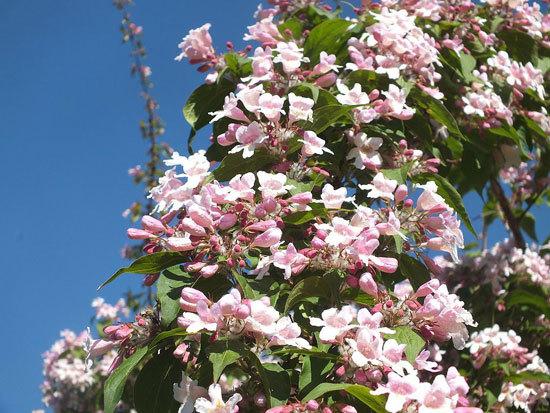 Kolkwitzia Amabilis Beauty Bush