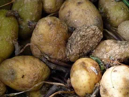 Potatoes god bad