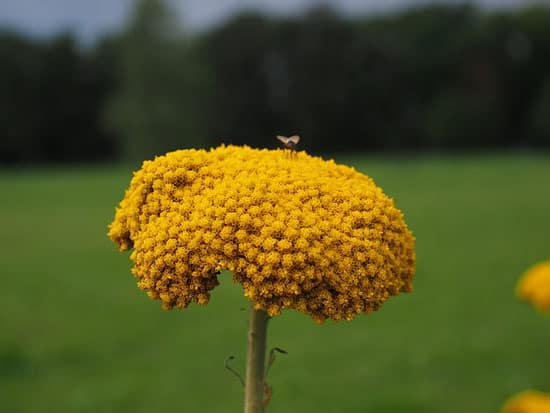 Milfoil Yarrow Achillea Millefolium