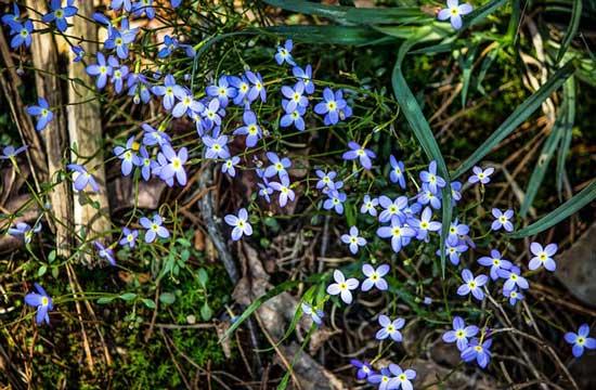Quaker Ladies Azure Bluet Houstonia Caerulea