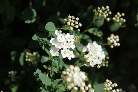 Queen of the Meadow Meadowsweet Filipendula Ulmaria