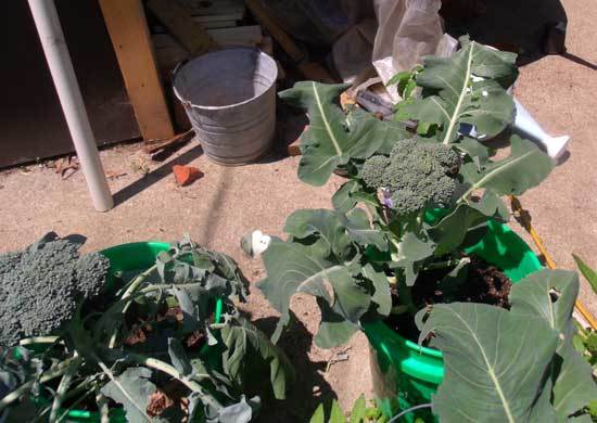 planting broccoli in containers