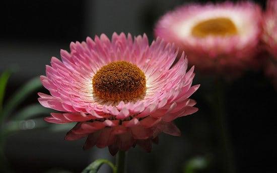 Xerochrysum Bracteatum Strawflower
