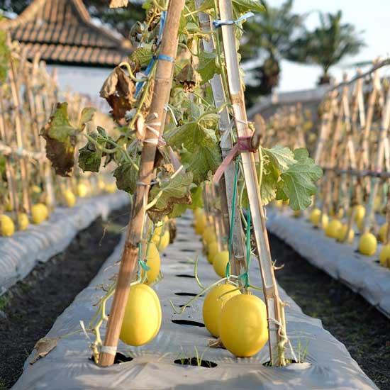 12 of the Climbing Fruit Plants Honeydew Melon