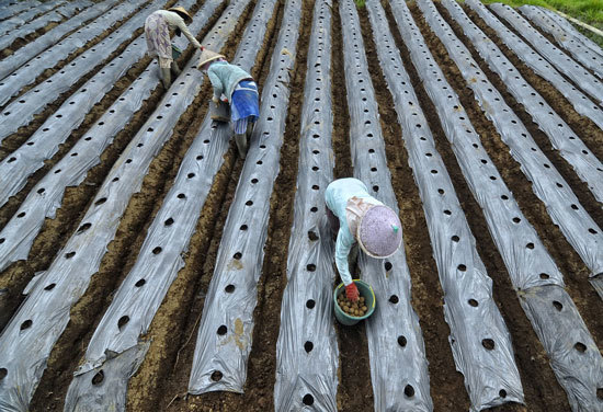 How Many Potatoes per Plant Farmer Plant Potato