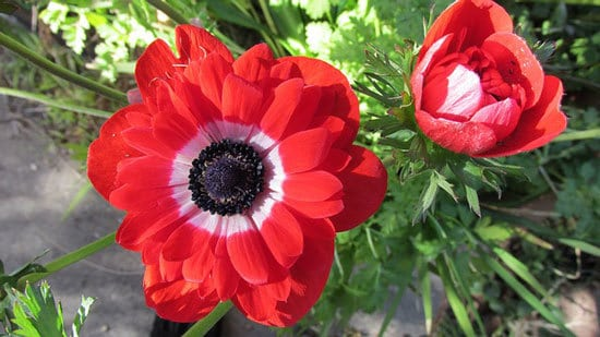 Most Beautiful Red Perennials Anemone