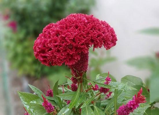 Most Beautiful Red Perennials Cockscomb