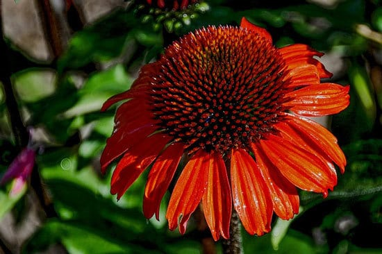 Most Beautiful Red Perennials Coneflowers