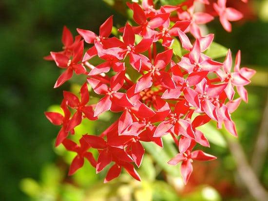 Most Beautiful Red Perennials Pentas Egyptian Starcluster