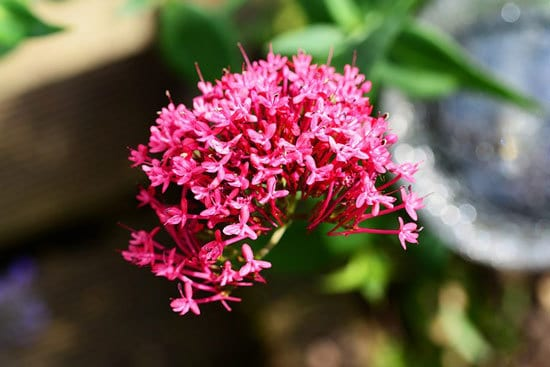 Most Beautiful Red Perennials Red Valerian
