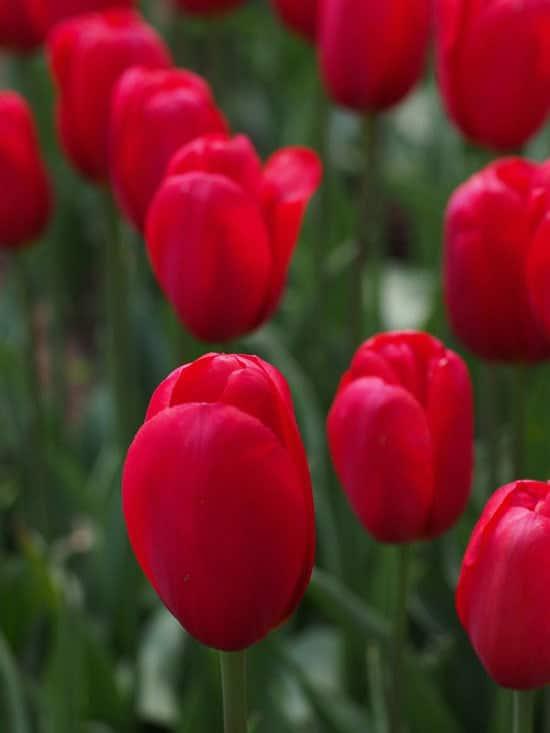 Most Beautiful Red Perennials Tulip