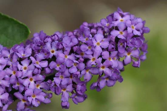 Purple Flowering Shrubs Buddleia Davidii Butterfly Bush