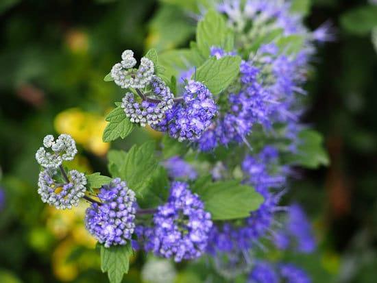 Purple Flowering Shrubs Caryopteris