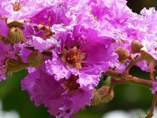 Purple Flowering Shrubs Crape Myrtle