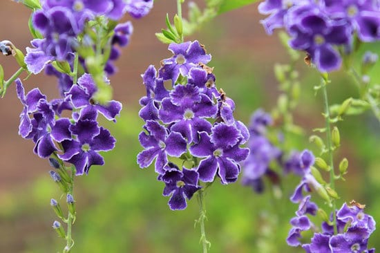 Purple Flowering Shrubs Golden Dewdrops