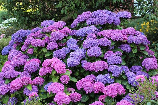 Purple Flowering Shrubs Hydrangea