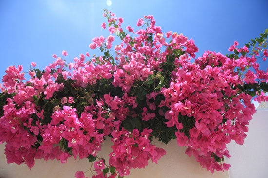 Climbing Flowers that Make Your Garden More Attractive Bougainvillea