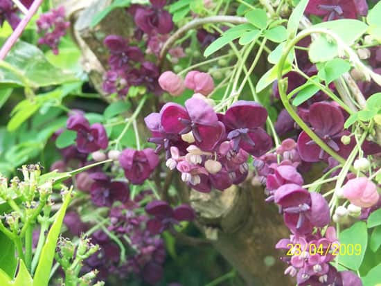 Climbing Flowers that Make Your Garden More Attractive Chocolate Vine