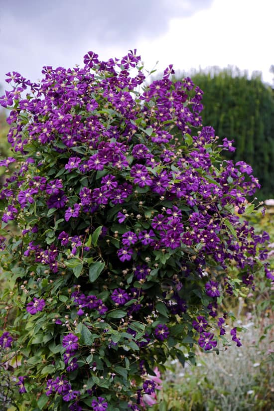 Climbing Flowers that Make Your Garden More Attractive Clematis Etoile Violette