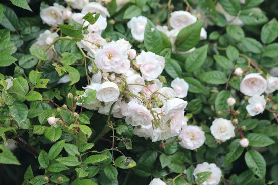 Climbing Flowers that Make Your Garden More Attractive Climbing Rose