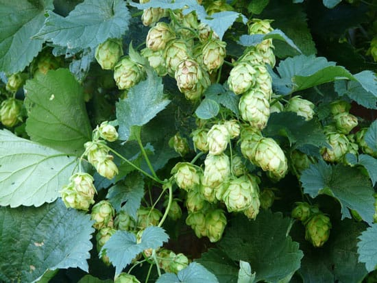 Climbing Flowers that Make Your Garden More Attractive Hops Humulus lupulus