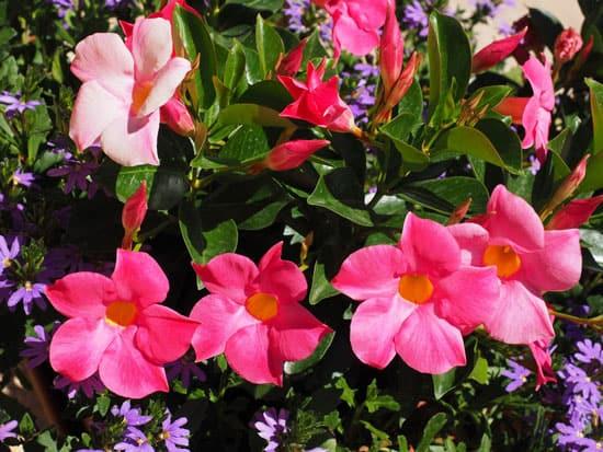 Climbing Flowers that Make Your Garden More Attractive Mandevilla