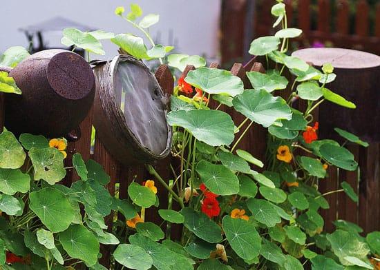 Climbing Flowers that Make Your Garden More Attractive Nasturtium