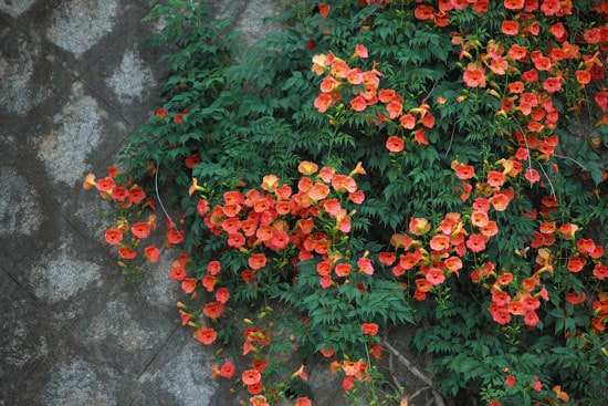 Climbing Flowers that Make Your Garden More Attractive Trumpet Vine Campsis