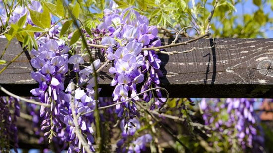 Climbing Flowers that Make Your Garden More Attractive Wisteria