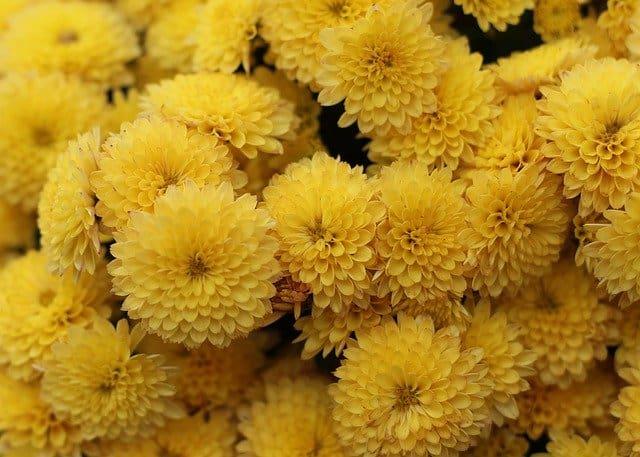 Rose Bush Alternatives Chrysanthemum