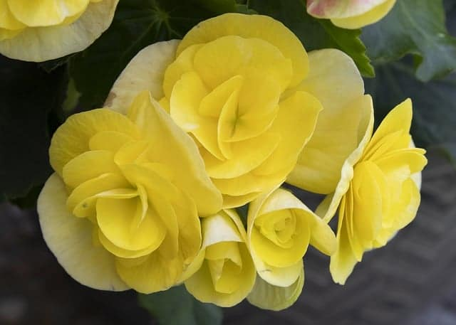 Rose Bush Alternatives Double Begonia