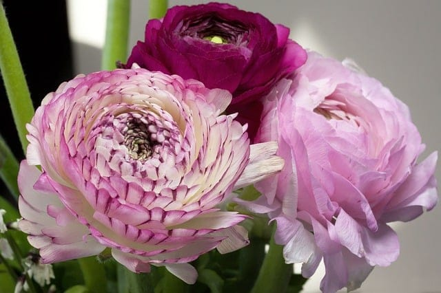 Rose Bush Alternatives Ranunculus