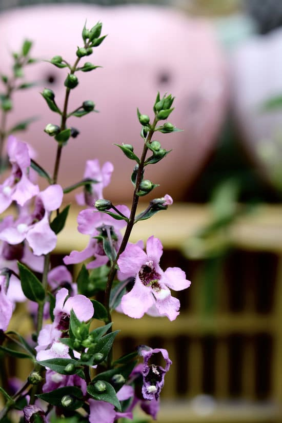 Colorful Annual Flowers Angelonia