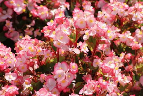 Colorful Annual Flowers Begonia
