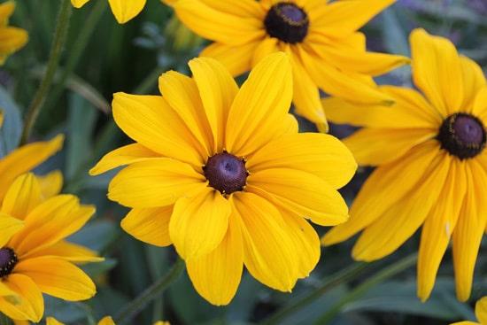 Colorful Annual Flowers Black Eyed Susan Rudbeckia