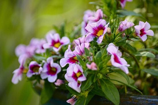 Colorful Annual Flowers Calibrachoa Million Bells