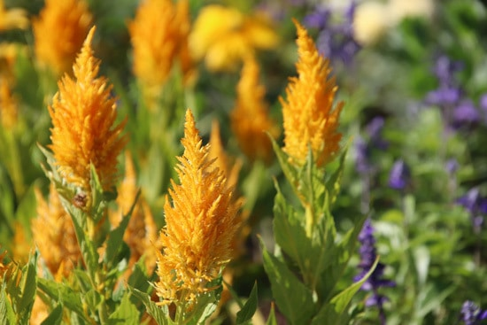 Colorful Annual Flowers Celosia