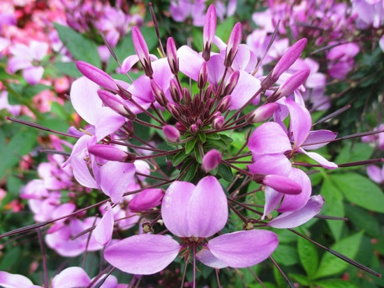 Colorful Annual Flowers Cleome Spider Flower